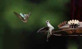 Kolibrie tijdens de lente Stock Fotografie