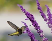 Kolibrie tijdens de vlucht royalty-vrije stock afbeeldingen