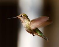Kolibrie tijdens de vlucht Stock Fotografie