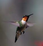 Kolibrie tijdens de vlucht Royalty-vrije Stock Fotografie