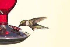 Kolibrie tijdens de vlucht Stock Foto