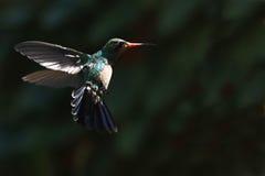 Kolibrie tijdens de vlucht Stock Afbeeldingen