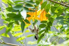 Kolibrie tijdens de vlucht Stock Afbeelding
