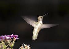 Kolibrie tijdens de vlucht Royalty-vrije Stock Foto's