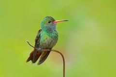 Kolibrie van rufous-De steel verwijderde Kolibrie, Amazilia tzacat, met duidelijke groene achtergrond, Colombia Stock Foto's