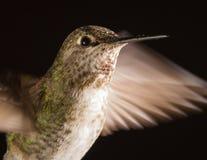 Kolibriehoofd met regendruppels wordt geschoten die Royalty-vrije Stock Afbeelding