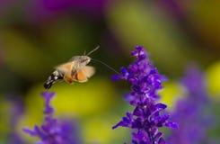 Kolibriemot Royalty-vrije Stock Fotografie