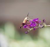 Kolibriemot Stock Foto