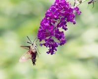 Kolibriemot Royalty-vrije Stock Foto