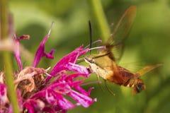 Kolibriemot die een rode bergamotbloem in Connecticut bezoeken stock foto