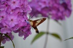 Kolibriemot en Flox Stock Afbeeldingen