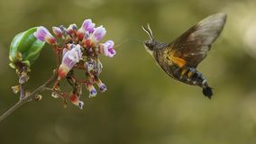 Kolibriemot het vliegen stock foto