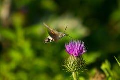 Kolibriemot (Macro) Stock Foto's