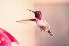 Kolibrieochtend royalty-vrije stock afbeeldingen