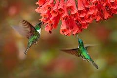 Kolibrier med blomman Försedd med krage Inca, Coeligena torquata som är mörk - grönt svartvitt kolibriflyg bredvid härligt royaltyfria foton