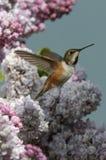 Kolibrier naturjuvlar Arkivbilder