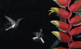 Kolibrier och Heliconia, Brasilien Royaltyfria Bilder