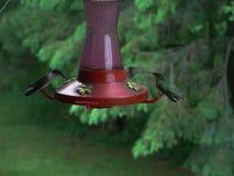 Kolibrier som matar på en röd kolibriförlagematare i sommar i Minnesota royaltyfri bild