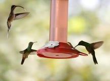 Kolibries Royalty-vrije Stock Fotografie