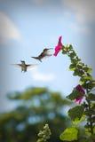 Kolibries bij een Bloem Royalty-vrije Stock Afbeeldingen