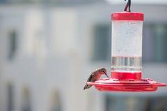 Kolibries die op de rode voeders zetten Royalty-vrije Stock Afbeeldingen