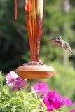 Kolibries en bloemen Stock Afbeelding