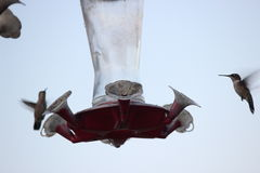 Kolibries op voeder Royalty-vrije Stock Foto