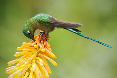 Kolibriesylph die Met lange staart nectar van mooie gele streliciabloem eten in Ecuador Royalty-vrije Stock Foto