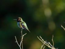 Kolibrietopposities boven op kleine tak Stock Afbeelding