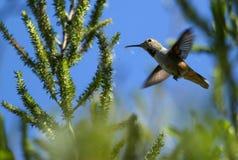 Kolibrievlieg langs Royalty-vrije Stock Foto's