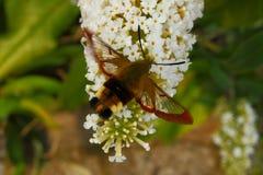 Kolibrievlinder Royalty-vrije Stock Afbeelding