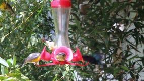 Kolibrievoeder stock video
