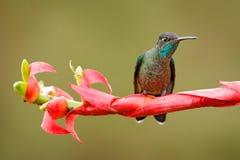 Kolibriezitting op rode bloem Prachtige Kolibrie, Eugenes fulgens, bij de bloei in de tropische bos het Wildscène van n royalty-vrije stock foto
