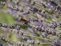 Kolibrifjäril Fotografering för Bildbyråer