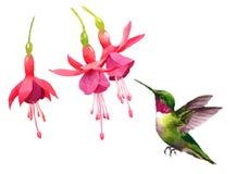 Kolibrifliegen um Fuchsie blüht die gezeichnete Aquarell-Vogel-Illustrations-Hand Stockbild
