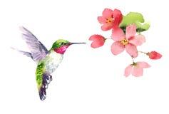 Kolibriflyg runt om blommavattenfärg Royaltyfria Bilder