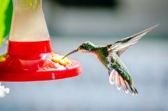 Kolibriflyget bredvid något blommar Royaltyfri Fotografi