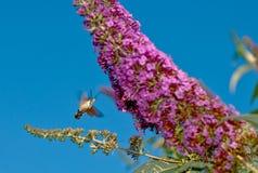 Kolibrihök-mal Royaltyfria Bilder