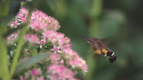 Kolibrihök-mal arkivfilmer