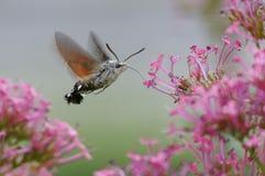 KolibriHök-mal - den Macroglossum stellatarumen - Pyrénées, Frankrike arkivbilder