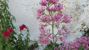 Kolibrihök-mal på för Centranthusruber för röd valeriana blomman också bekant som sporrar valeriana, kyss-me-ömt ställe, borste f stock video