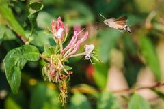Kolibrihök-mal som surrar runt om rosa kaprifol royaltyfri fotografi