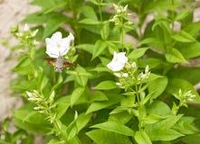 Kolibrihök-malen är sugande nektar arkivfoto