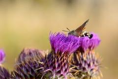 Kolibrihökmal som matar på blomman Fotografering för Bildbyråer