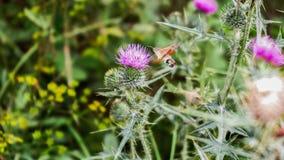 KolibriHawk Moth matningar på tistel Royaltyfri Foto