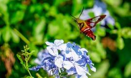 Kolibrimal Royaltyfri Bild