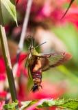 Kolibrimotte Lizenzfreies Stockbild