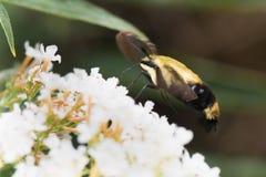 Kolibrimotte Lizenzfreie Stockfotos