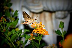 Kolibrimotte Stockbild