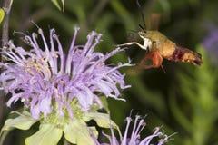 Kolibrimotte schwebt beim Herumsuchen auf Lavendelbienenbalsamfluß Stockfotos